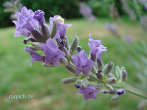 Aromatheraphie mit Lavendelöl